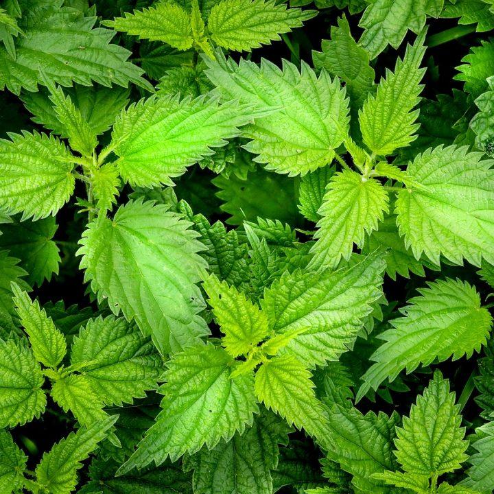 nettle, green, weed